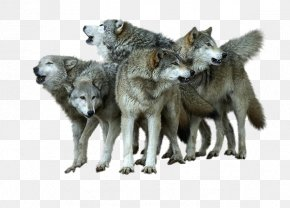 Wolf Pictures - Alaskan Tundra Wolf Coyote Wallpaper PNG