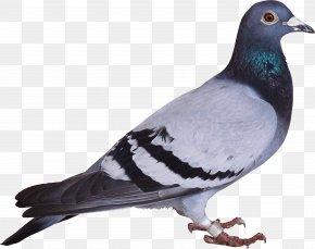 Pigeon Image - Bird Columbidae Columba Drawing Swan PNG