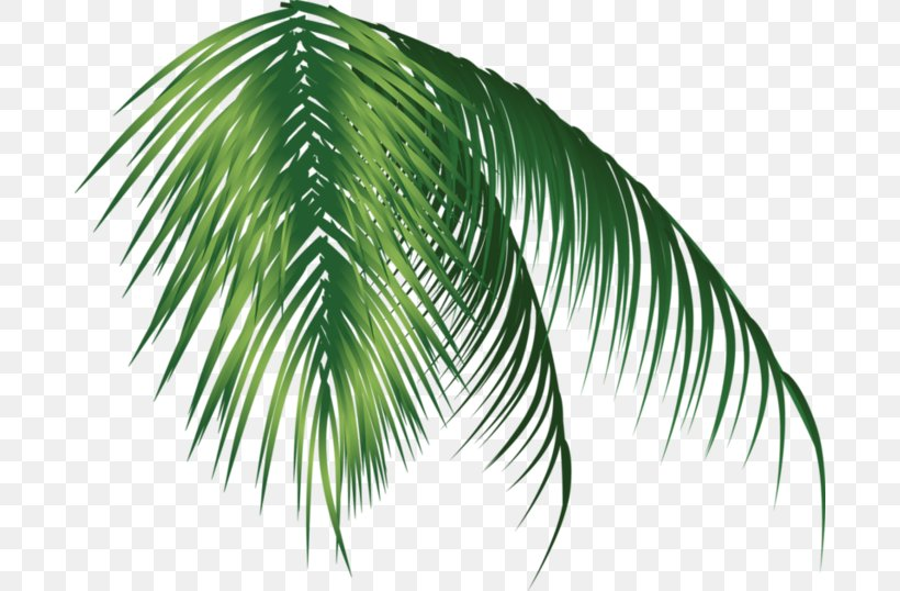 Arecaceae, PNG, 684x538px, Arecaceae, Arecales, Coconut, Date Palm, Diagram Download Free
