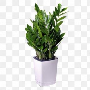 Pot Plant - Houseplant Flowerpot Zanzibar Gem Office PNG