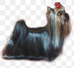 Naira - Yorkshire Terrier Skye Terrier Australian Silky Terrier Cairn Terrier Affenpinscher PNG