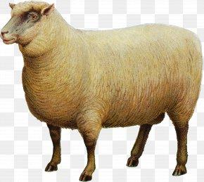 Goat - Southdown Sheep Goat Livestock PNG