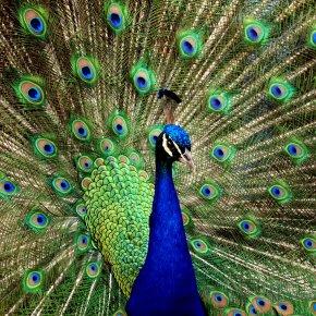 Peacock - Peafowl High-definition Video Desktop Wallpaper 1080p Clip Art PNG