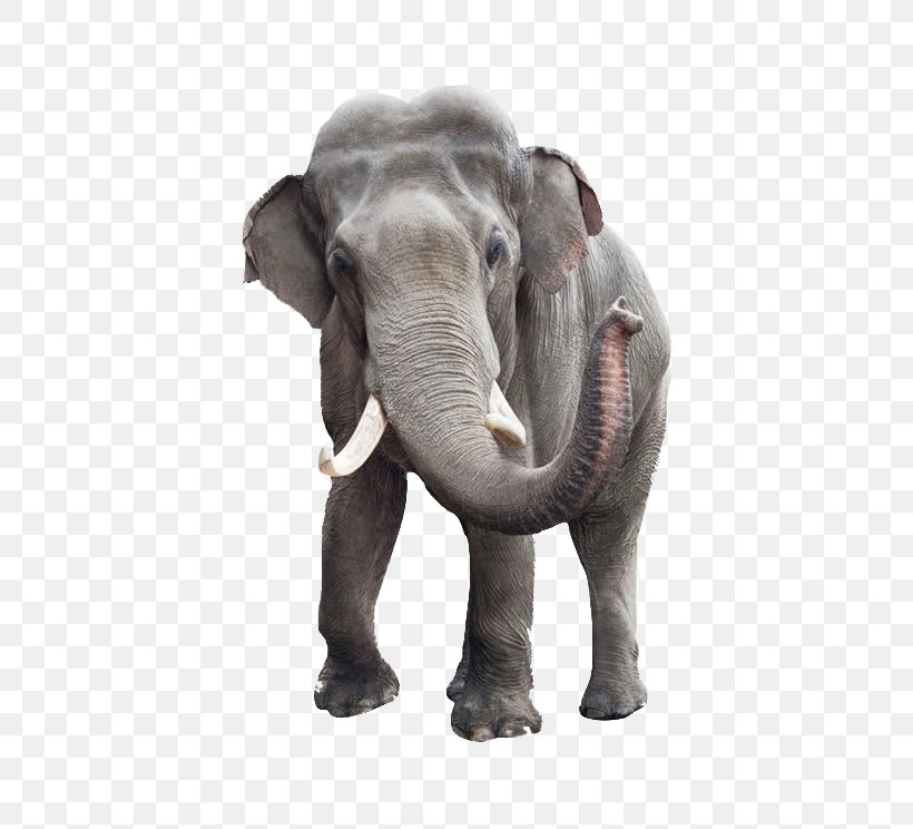 African Bush Elephant Indian Elephant Stock Photography Elephant Head Lodge, PNG, 610x744px, African Bush Elephant, African Elephant, Animal, Asian Elephant, Depositphotos Download Free