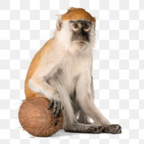 Monkey - Macaque Primate Monkey Rat Chinese Astrology PNG