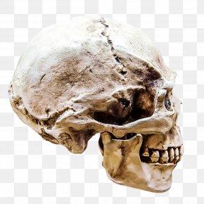Anthropology Forehead - Skull Bone Skeleton Jaw Head PNG