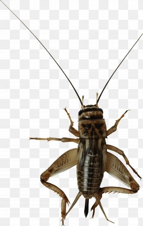 Insect Bug Image - Insect Cricket Flour Field Cricket Entomophagy PNG