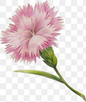 Pink Family Carnation - Flower Flowering Plant Plant Pink Petal PNG