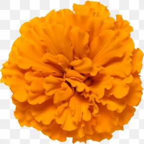 Flower - Mexican Marigold Calendula Officinalis Glebionis Segetum Flower Orange PNG