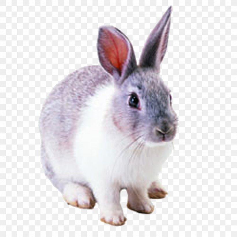 Netherland Dwarf Rabbit Hare Cottontail Rabbit Domestic Rabbit, PNG, 2953x2953px, Netherland Dwarf Rabbit, Cottontail Rabbit, Domestic Rabbit, European Rabbit, Fauna Download Free