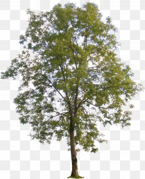 Tree Plan - Populus Nigra American Sycamore Tree Populus Sect. Aigeiros PNG