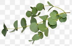 Eucalyptus - Gum Trees Stock Photography Eucalyptus Oil Leaf Eucalyptus Dives PNG