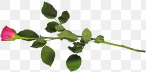 Single Rose - Twig Leaf Computer Wallpaper PNG