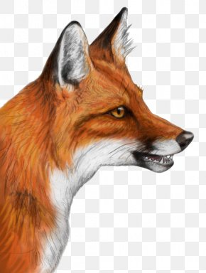 Fox - Red Fox Drawing Gray Wolf PNG