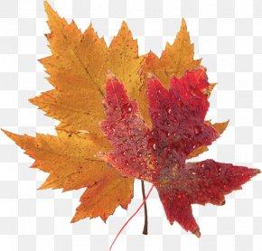 Red Maple Leaf Images Red Maple Leaf Transparent Png Free Download