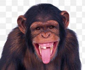 Monkey - Monkey Chimpanzee Ape PNG