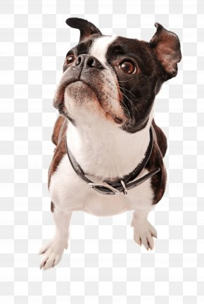 Puppy - Boston Terrier Yorkshire Terrier Puppy Rat Terrier Pit Bull PNG