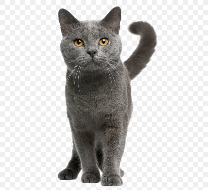 Chartreux Maine Coon British Shorthair European Shorthair Kitten Png 750x750px Chartreux American Wirehair Asian Bengal Cat