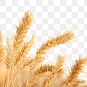 Wheat Picture - Common Wheat Wheat Allergy Ear Cereal Harvest PNG