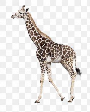 Giraffe - Rothschild's Giraffe Northern Giraffe Leopard Mammal Stock Photography PNG