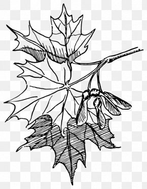 Maple Leaf Watercolor Vector - Sugar Maple Drawing Maple Leaf Line Art PNG