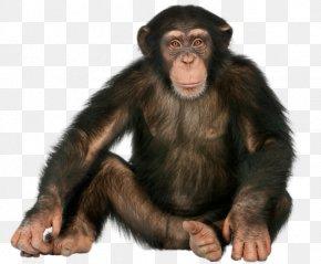 Gorilla Sitting - Chimpanzee Gorilla Ape Monkey Orangutan PNG