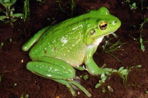 Frog - Motorbike Frog White-lipped Tree Frog Amphibian Frog Legs PNG