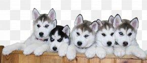 Siberian Husky Puppy File - Siberian Husky Alaskan Malamute Puggle Puppy PNG
