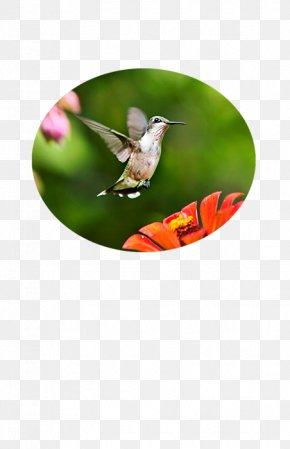 Shimmering - Ruby-throated Hummingbird Photography PNG