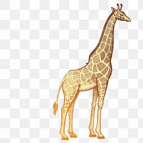 Cartoon Giraffe - Giraffe Okapi Rhinoceros Lion Hippopotamus PNG