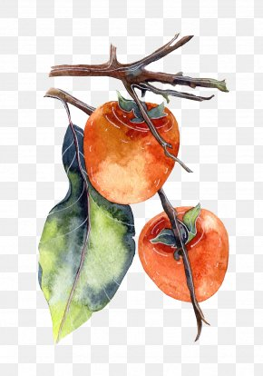 Watercolor Hanging In The Branches Of A Persimmon - Persimmon Watercolor Painting Poster Illustration PNG
