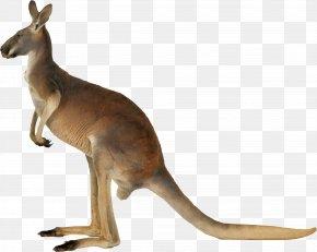 Kangaroo - Kangaroo PNG