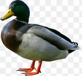 Duck Image - Duck Wiki PNG