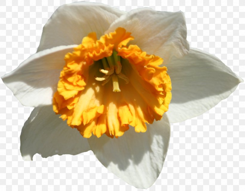 Free Daffodil, Download Free Clip Art, Free Clip Art on Clipart Library