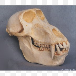 Skull - Mandrill Primate Skull Hamadryas Baboon Ape PNG
