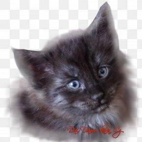 Norwegian Forest Cat - Maine Coon Nebelung Asian Semi-longhair Ragamuffin Cat Ragdoll PNG