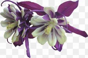 Purple Flower - Flower Violet Purple Columbine Garden Roses PNG