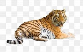 Big Tiger - Siberian Tiger Felidae Cat White Tiger Bengal Tiger PNG