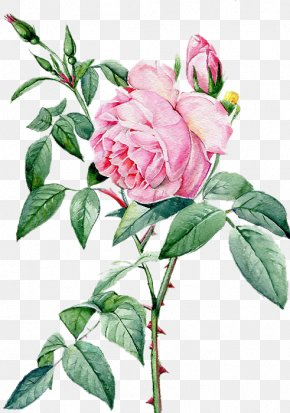 Beautiful Hand-painted Peony Flower Material - Rosa Chinensis Beach Rose Landscape Architecture PNG