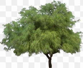 Bushes - Tree Weeping Willow Shrub Woody Plant PNG