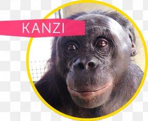 Bonobo Apes - Common Chimpanzee Gorilla Ape Cognition And Conservation Initiative Kanzi Bonobo PNG