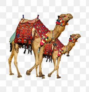 Real Camel Two - Bactrian Camel Dromedary Camel Safari Display Resolution PNG