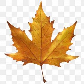 Leaf Drawing Maple - Maple Leaf Image Sugar Maple Autumn Leaf Color PNG