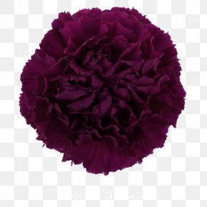 CARNATION - Growing Carnations Cut Flowers Pink PNG