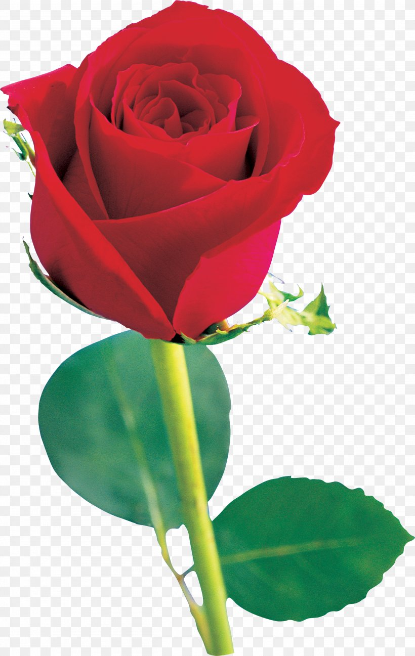 Beach Rose Flower Red Garden Roses Pink, PNG, 2718x4300px