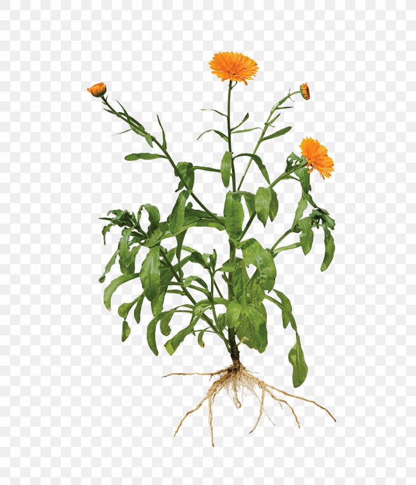 Calendula Officinalis Root Marigold Plant, PNG, 879x1024px, Calendula Officinalis, Branch, Chrysanthemum, Cut Flowers, Flora Download Free