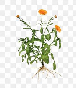 Calendula Painted Image - Calendula Officinalis Root Marigold Plant PNG