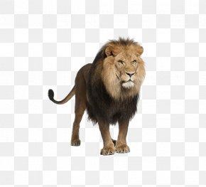 Lion - Lion Felidae Clip Art PNG