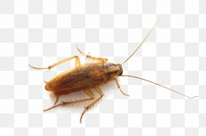 Roach - German Cockroach Insect Pest Control Bed Bug PNG