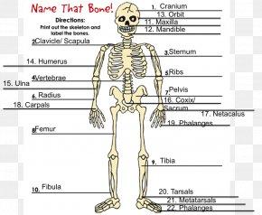 Skeleton - Human Skeleton Homo Sapiens Bone Hydrostatic Skeleton PNG